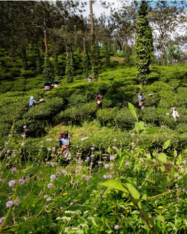 Jean-Luc Moreau Deleris - Tea Plantation