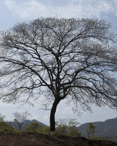 Hans Silvester - Photo arbre mémorable d'Ethiopie