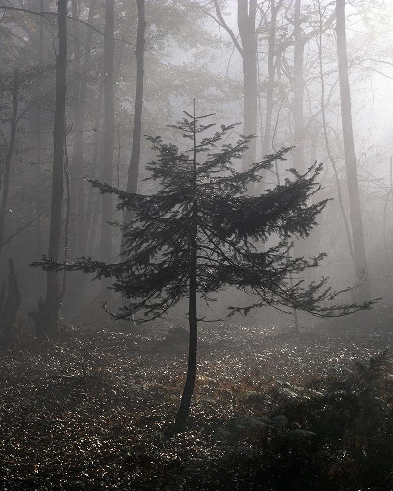 Hans Silvester -  Photo Pine tree in sunshine