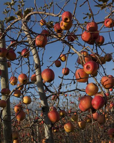 Hans Silvester - Photo Pommiers en fruits