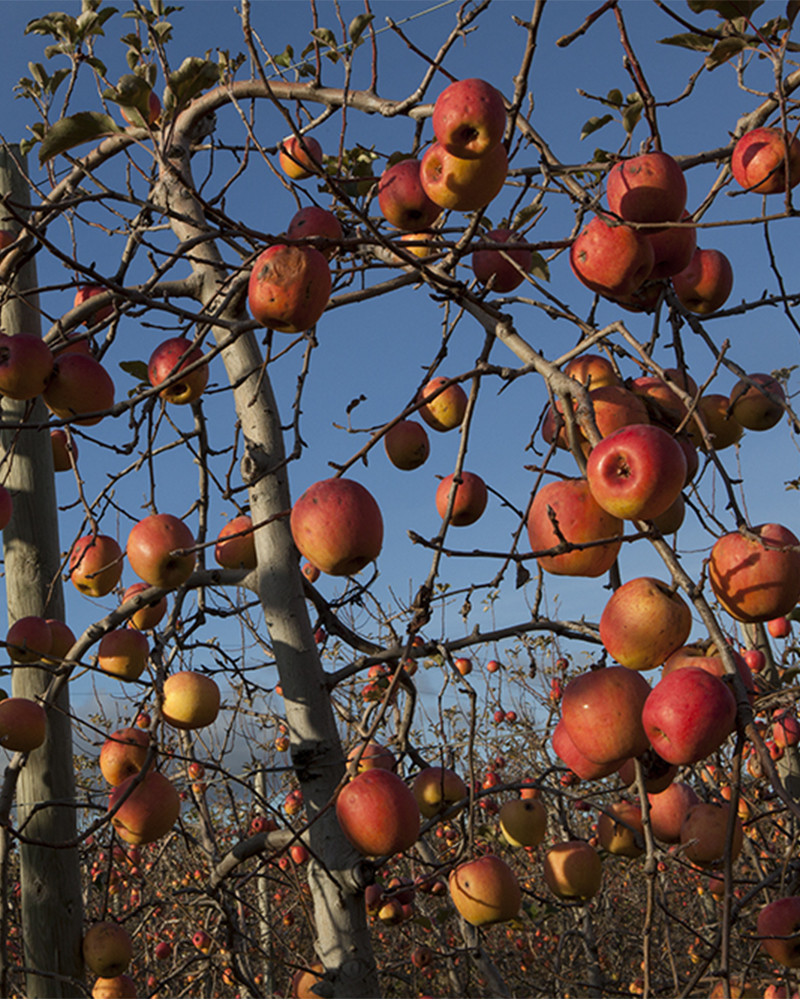 Hans Silvester -  Photo Apple trees with fruits