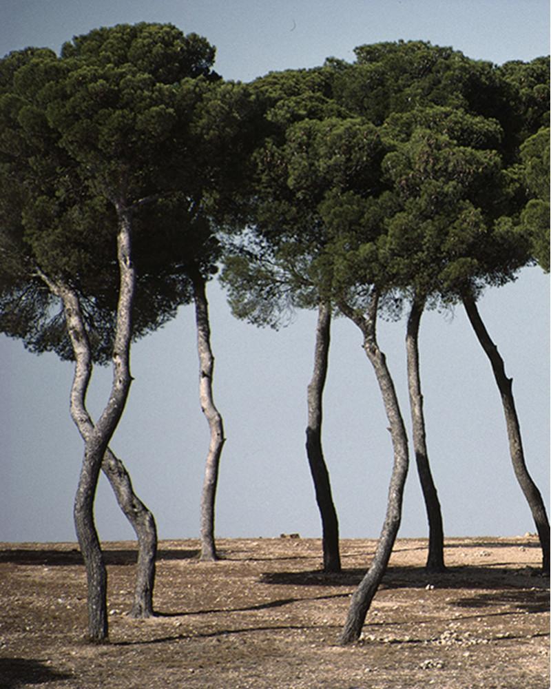 Hans Silvester -  Photo Memorable pine trees