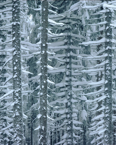 Hans Silvester -  Photo Larches in Winter