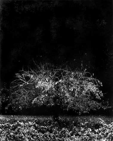 Denis Brihat - The sad cherry tree