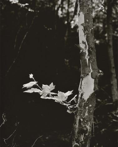 Denis Brihat - The plane tree