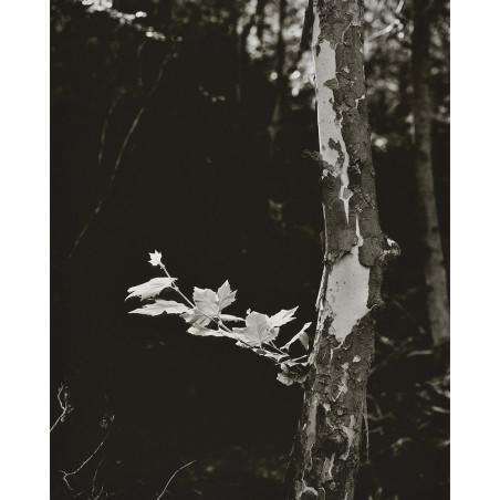 Denis Brihat - Le platane