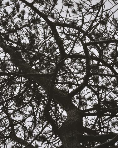 Denis Brihat - Irish pine