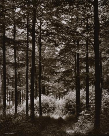 Denis Brihat - Forêt